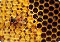 Пчелиный яд, как средство лечения остеохондроза